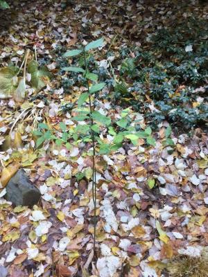 Growing a Strawberry Bush  - small slender shrub