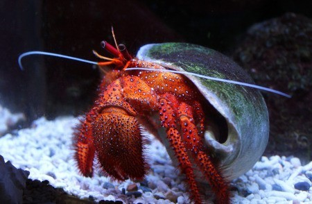 closeup of a red hermit crab