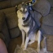 What Kind of Husky Do I Have? - gray and white Husky