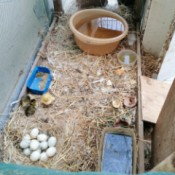Duck Won't Sit On Her Fertile Eggs - ducklings and nest of eggs