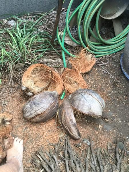Coconut Fiber Christmas Tree - remove fiber