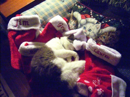 Annie Belle - cat sleeping on Christmas decorations