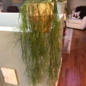 Identifying a Houseplant - draping plant with long thin leafless growth