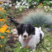 Suzie (Long Haired Dachshund) - black and white dog in garden