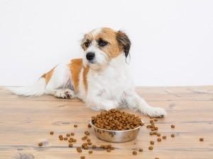 A dog ignoring his food bowl.