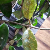 Are These Aphids on My Hoya? - underside of the leaves