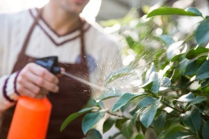 A man spraying a plant for spider mites.