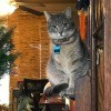 A grey cat sitting on a china cabinet.