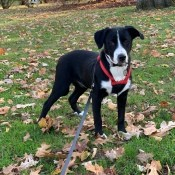 What Breed Is My Dog? - black and white dog on a leash
