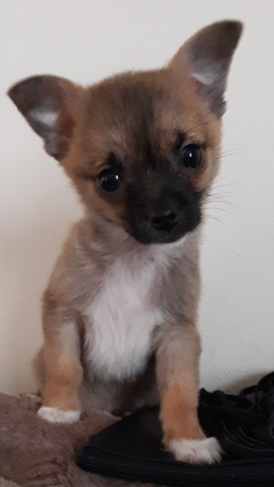 Is My Dog a Pure Bred Chihuahua? - cute tri-color puppy