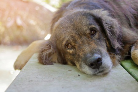 A sad dog lying down.