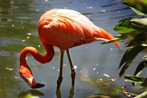 A flamingo wading in water.
