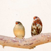 Two finches sitting on a branch.