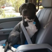 Jax (Pit Bull) - Pit sitting in the car with a seatbelt over his shoulder