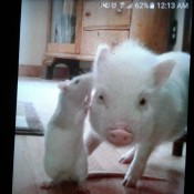 Honey and Weewee (Pig and Rat) - phone screen shot of a white rat with its nose near a very small white pig's ear