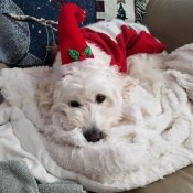 Paco (Poodle-Bichon-Mix) - white dog with a Santa hat on