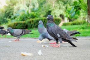 Pigeons eating bread on sidewalk.