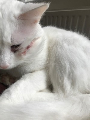 Cat Is Scratching a Wound on His Cheek - white cat with a cut or scrap on its cheek