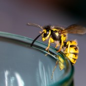 Wasp sitting on a glas
