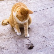 A cat with a dead mouse on the ground.