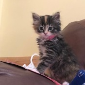 What Breed Is My Cat? - tri-color kitten