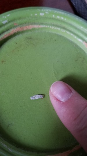 Identifying an Insect Egg - grayish egg on the bottom of a green plate