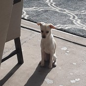 What Breed Is My Chihuahua Mixed With? - pale tan dog