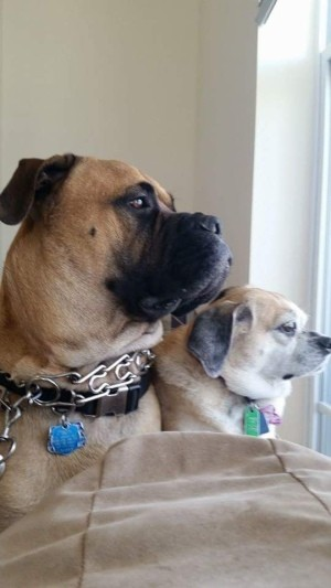 Bull Mastiff Peeing in House After a Move - Mastiff and Puggle
