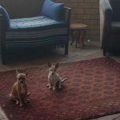 Is My Dog a Chihuahua? - two dogs on an area rug