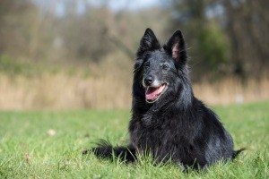 A Belgian Shepherd or Groenendael in a grassy field.