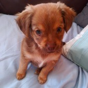 What Is My Chihuahua Mixed With? - reddish brown puppy