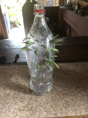 Succulent Plant Starter - bottle with leaves in place