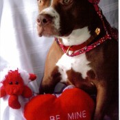 A pit bull with a red hat and a Valentine's toy.