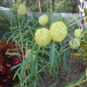 Identifying a Garden Plant - ball shaped greenish yellow flower on long stem with grassy leaves