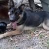 Is My Dog a Purebred German Shepherd? - black and tan shepherd