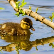 A duckling swimming in water alone.