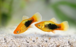 Two tropical fish swimming in a tank.