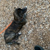What Breed Mix Is My Dog? - brindle puppy on a leash