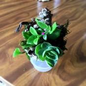Living Succulent Pine Cone Decor - sitting version