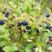 A huckleberry bush with berries.