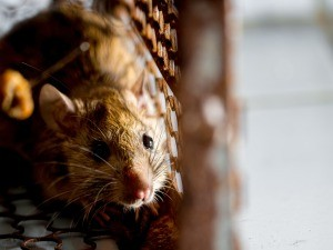 An unwanted rodent in a trap.