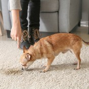 A dog being shown a stain on the carpet.