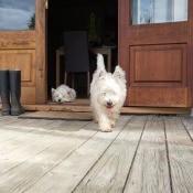 A dog walking out a door onto a porch.