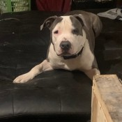 Is My Dog a Pit Bull?  - gray and white dog