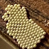 Identifying Insect Eggs - cluster of off white eggs