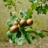 Galls growing on an oak tree.