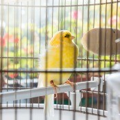 A canary in a bird cage.