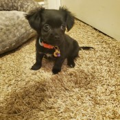 What is My Chihuahua Puppy Mixed With? - small black pupp with fuzzy ears