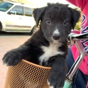 What Breed Is My Dog? - black and white puppy in a bike basket