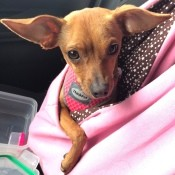 What Is My Chihuahua Mixed With? - brown dog with very large ears, in a pouch